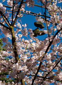 Shoes hanging above Cherry Blossom