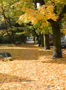 Autumn trees in Kitsilano