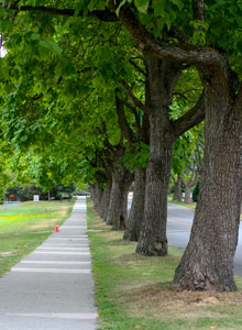 Catalpa trees in Kitsilano
