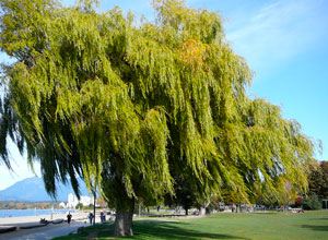 Weeping Willow at Kitsilano Beach