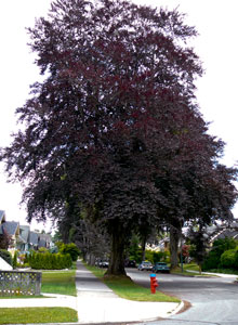 Copper Beech on 13th Ave Kitsilano
