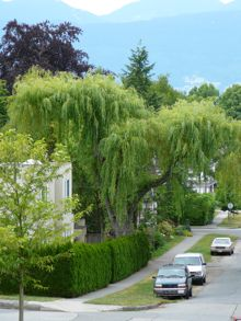 Great trees of Vancouver